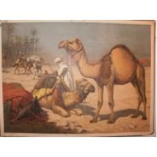 Skoleplanche kamel
