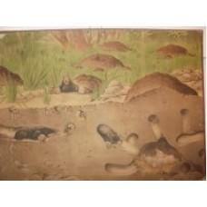 Skoleplanche muldvarp